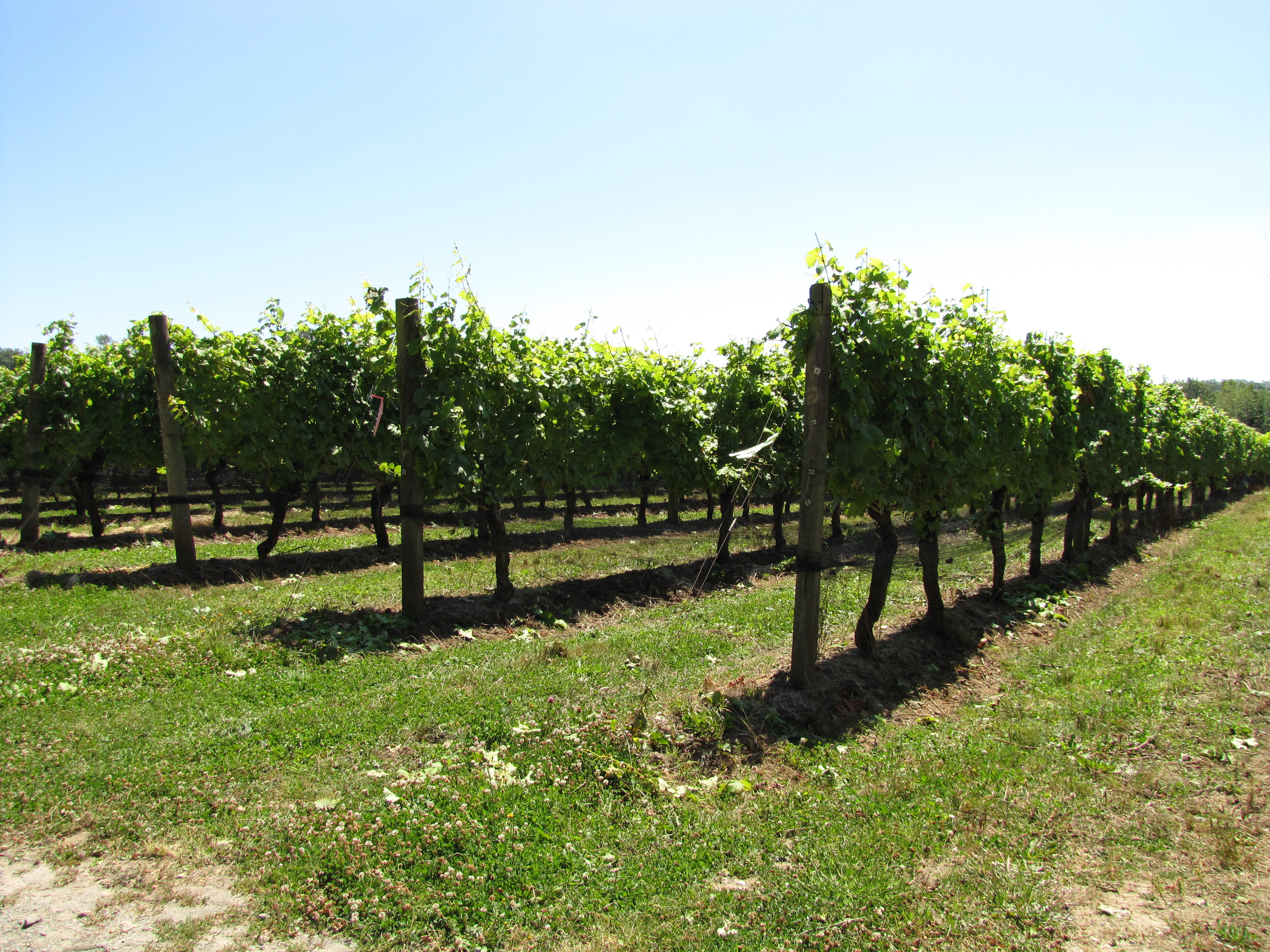 rows of fruit trees ready for harvesting for wine